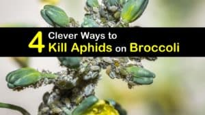 How to Get Rid of Aphids on Broccoli titleimg1