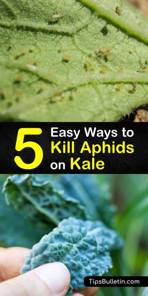 Learn how to control aphid populations and prevent an infestation in your vegetable garden with natural predators and beneficial insects such as lacewings and ladybugs. Kill these garden pests with dish soap, water, and a spray bottle. #killaphids #howto #aphids #getridof #kale