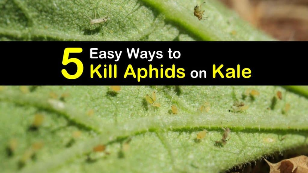 How to Get Rid of Aphids on Kale titleimg1