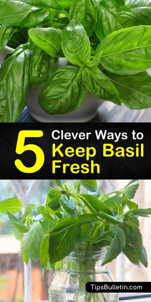 Get creative with your fresh herbs using this guide to keeping basil fresh. All you need is a paper towel, ice cube trays, and fresh basil leaves to learn how to make pesto, find the freshest plants at the grocery store, and store basil at room temperature. #howto #basil #fresh
