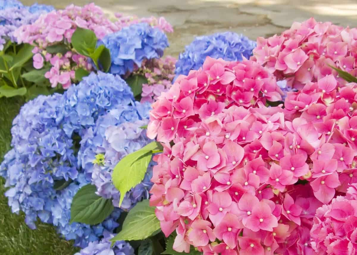 Hydrangeas are known for their large flower blooms.