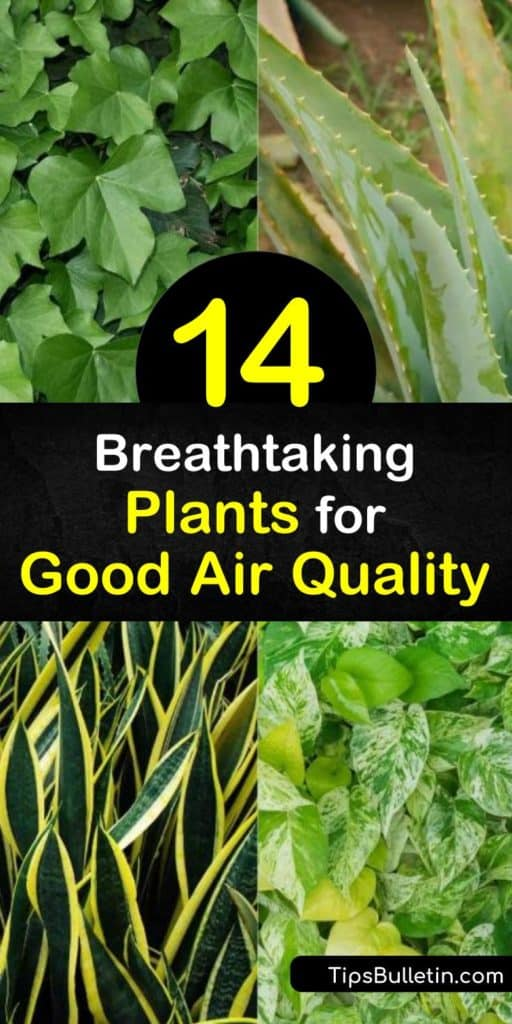 Improve your overall health and air quality with these indoor plants that remove VOCs like xylene and trichloroethylene. Some of the best plants for this are the peace lily, English ivy, and dracaena plants that filter out the bad stuff and only leave the good. #indoor #plants #air #quality