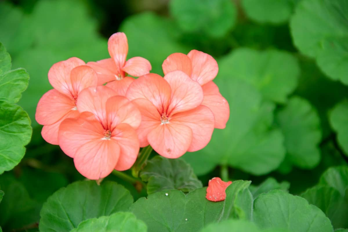 The ivy geranium is a perennial that requires damp soil.