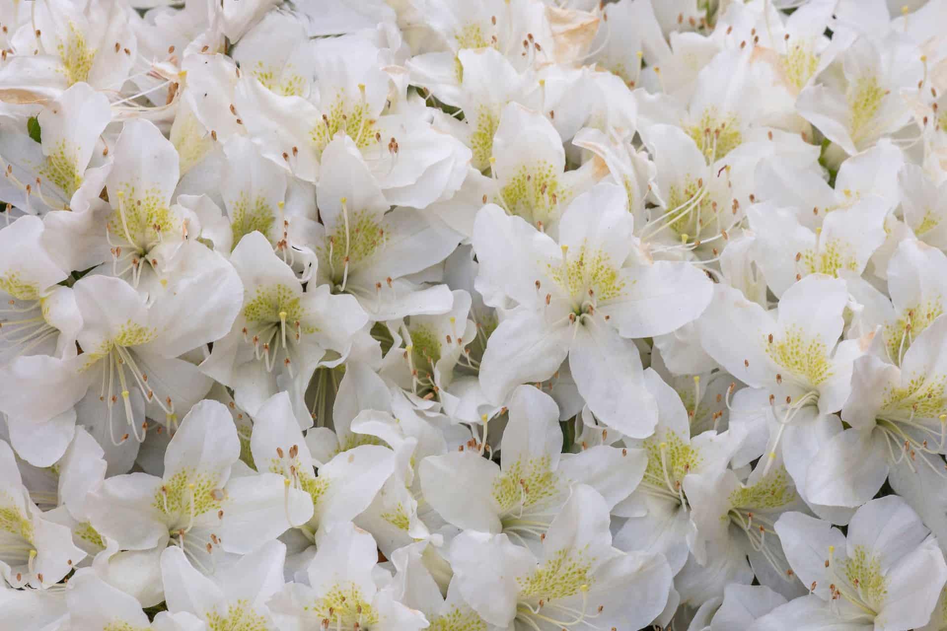 Japanese azaleas thrive in sun or shade.