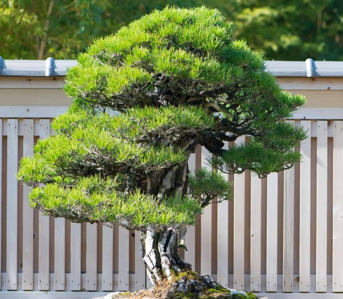 The Japanese black pine bonsai is an evergreen.