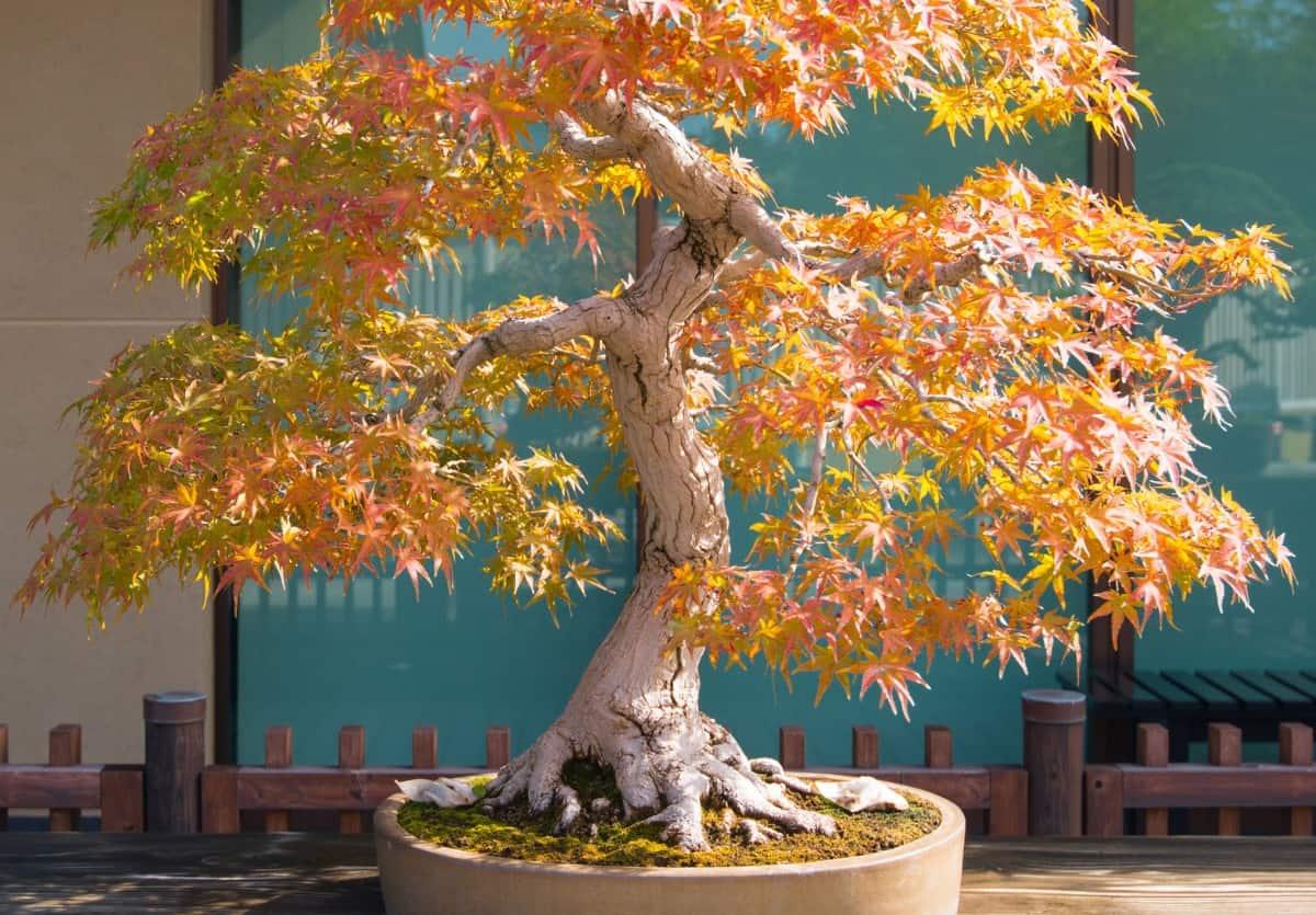 Japanese maple bonsai trees have brilliant fall color.