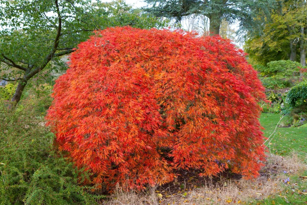 Japanese maple trees have unusual beauty year-round.