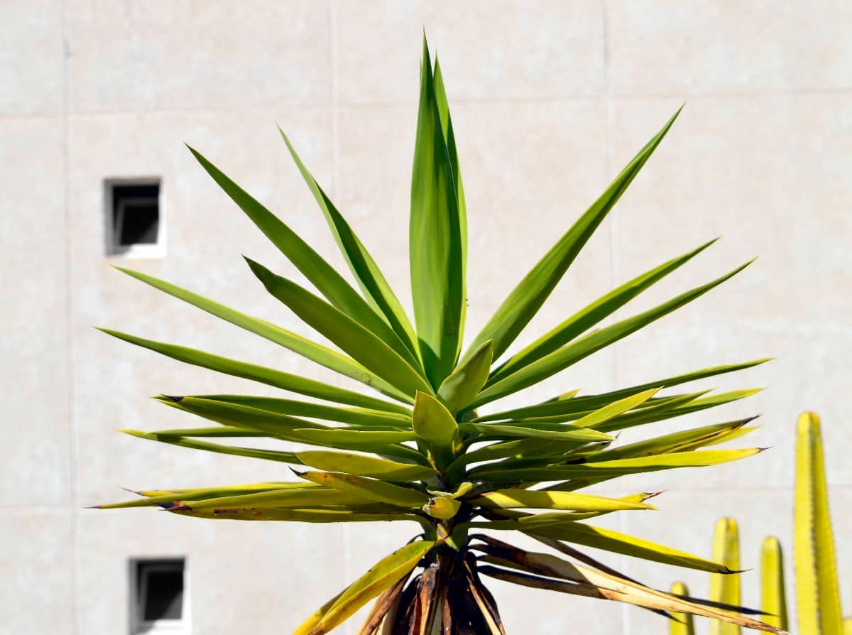 Joshua trees are easy to grow indoors and out.