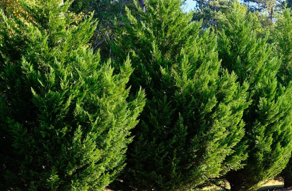 The leyland cypress is a fast-growing evergreen.