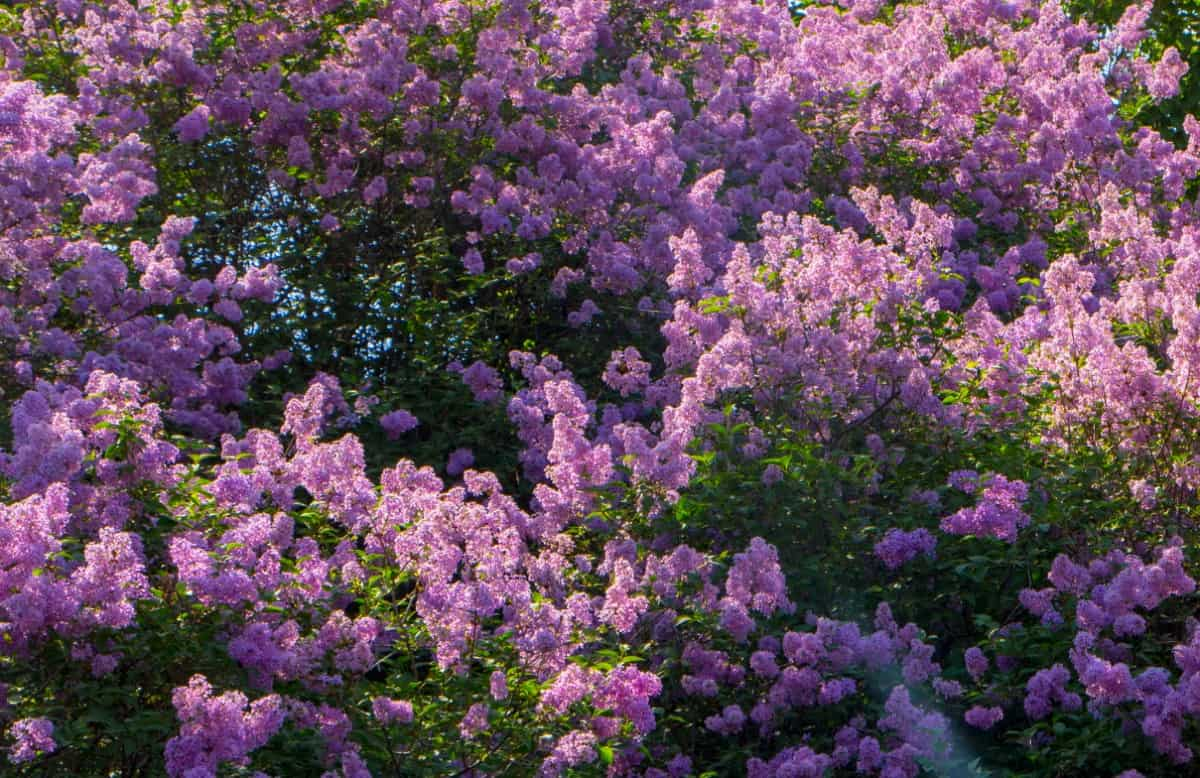 Lilacs have an unforgettable smell.