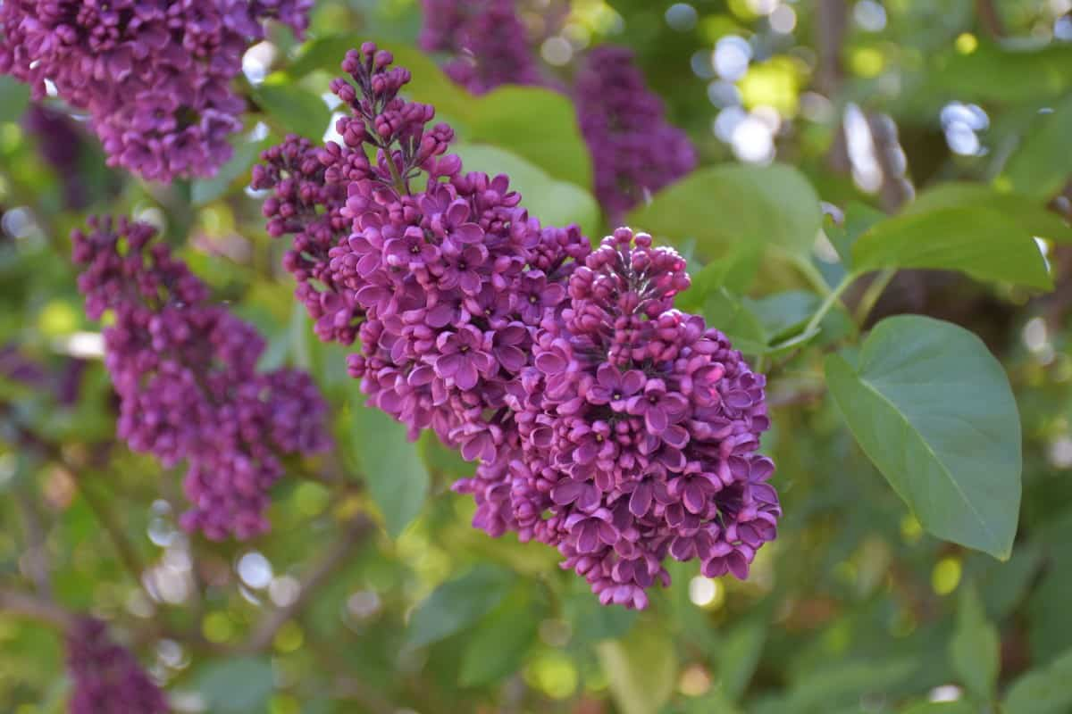 Lilacs need lots of sun for the best blooms.