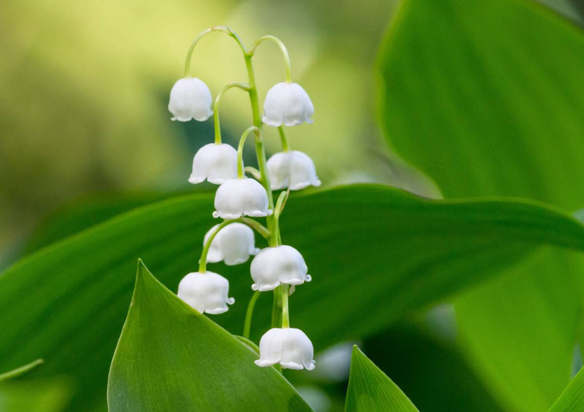 The lily of the valley plant needs shade.