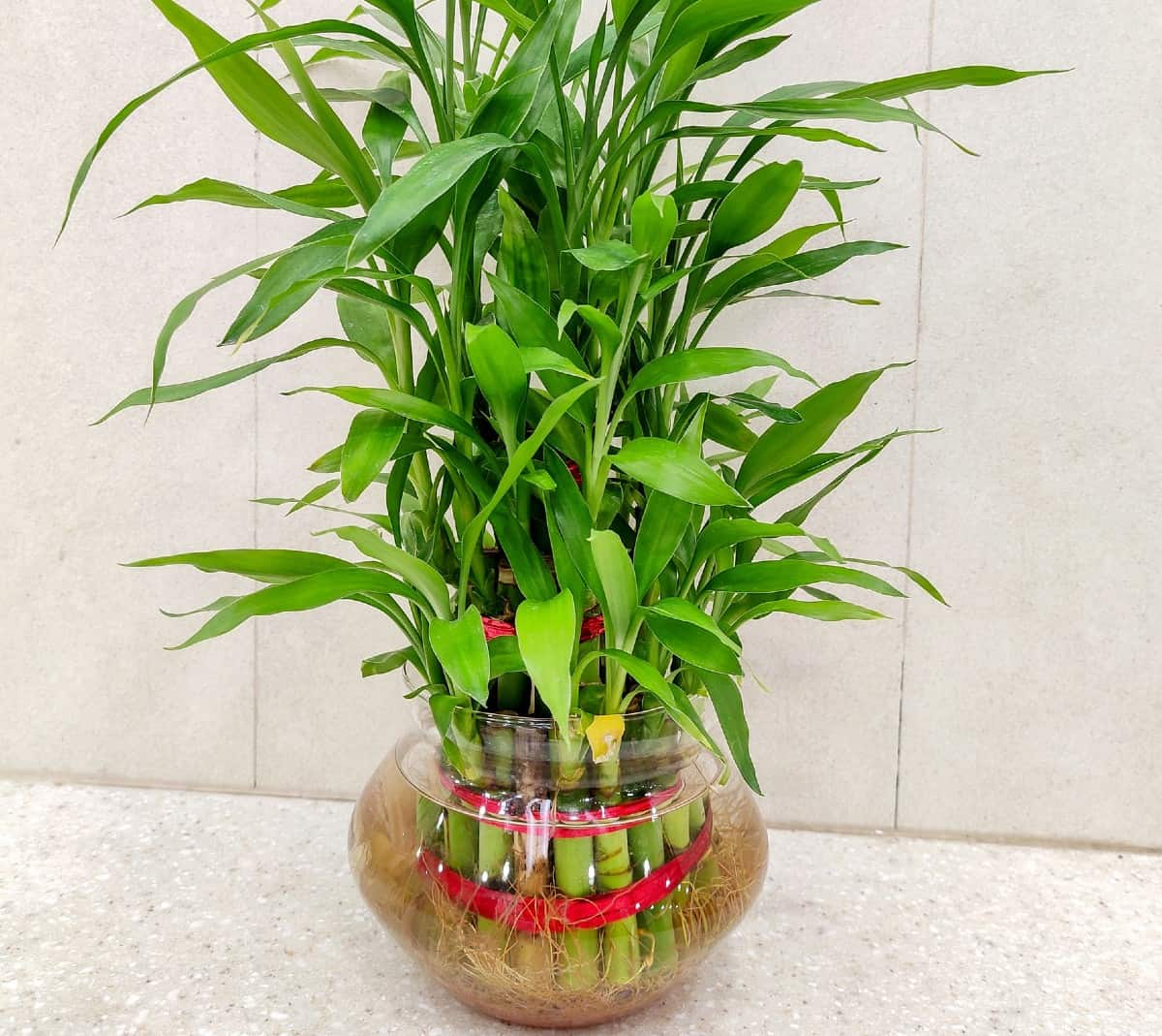 Lucky bamboo is said to bring good luck to the owner.