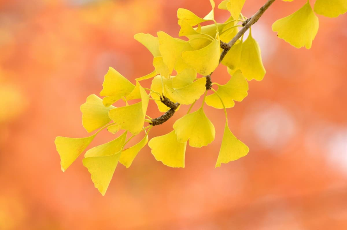 Maidenhair trees turn brilliant yellow in the fall.