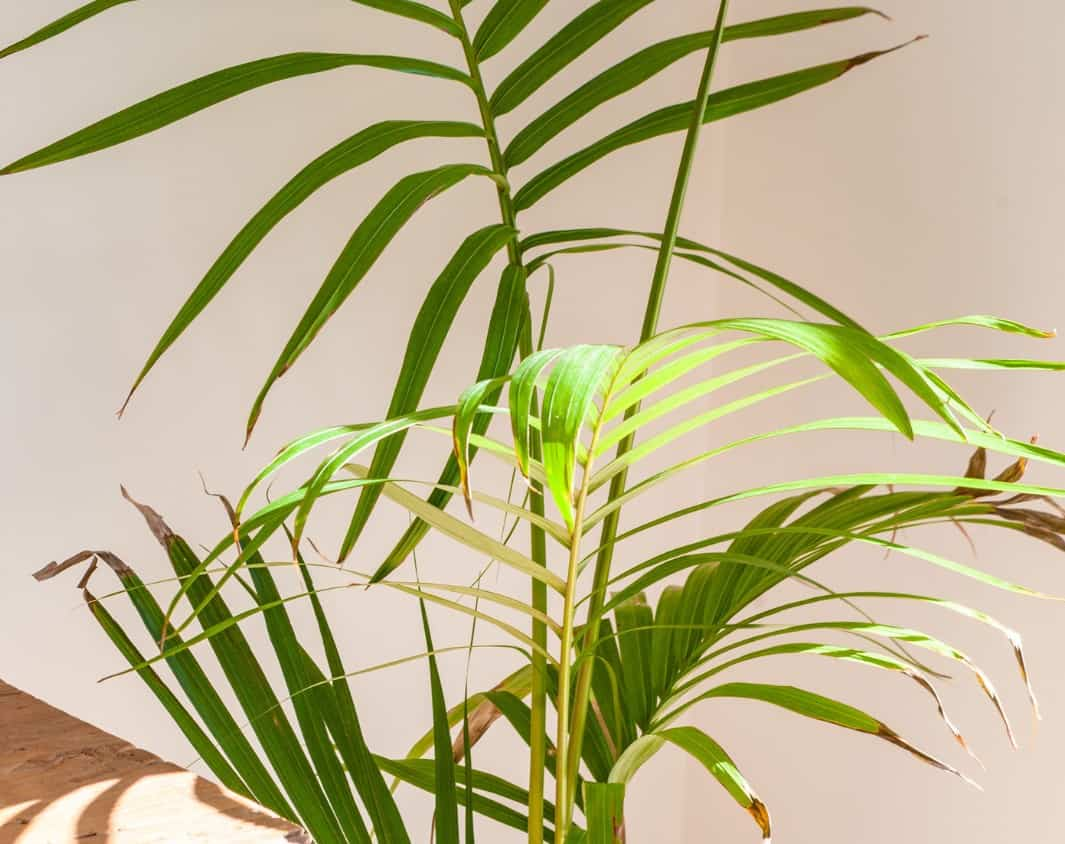 Majesty palms are easy for beginners to grow.