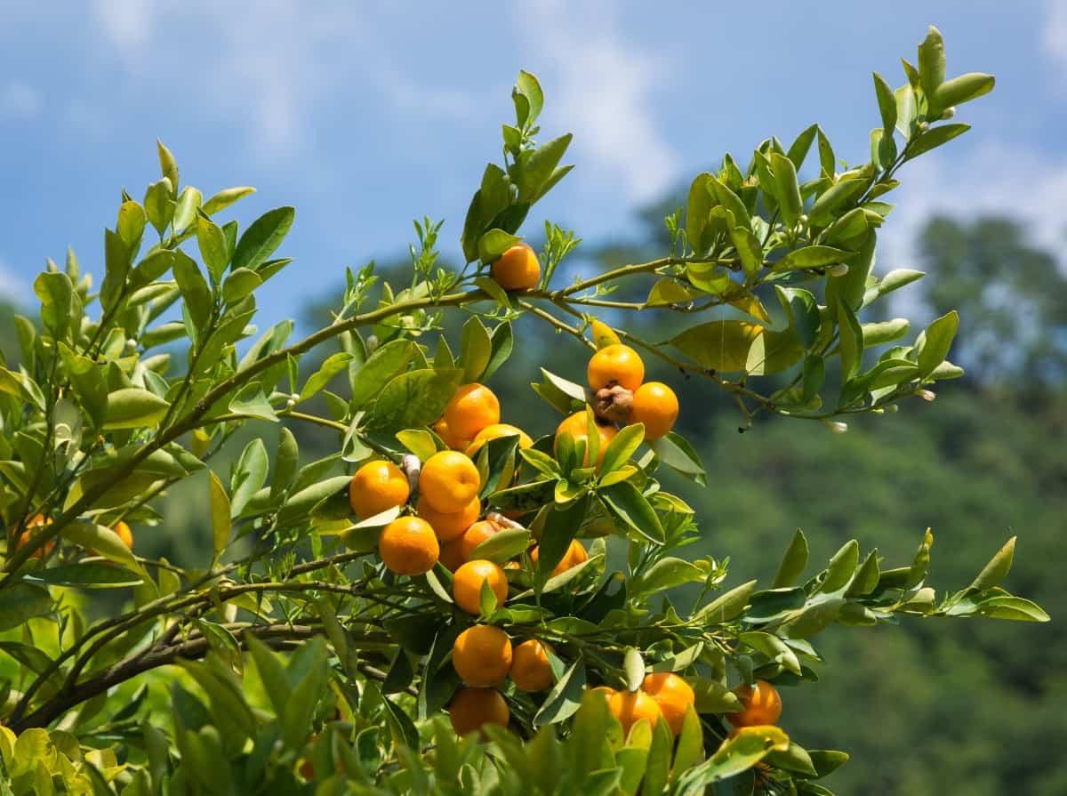 Mandarin orange trees have thorns.