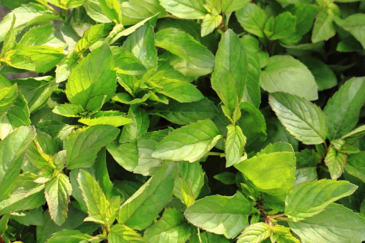 Mint is an aggressive grower.