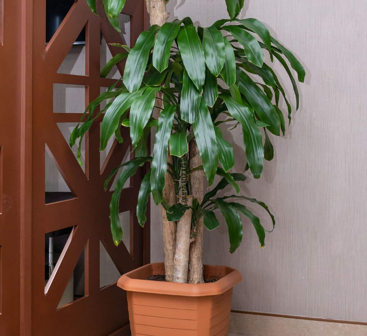 The money tree is also called the Guiana chestnut.