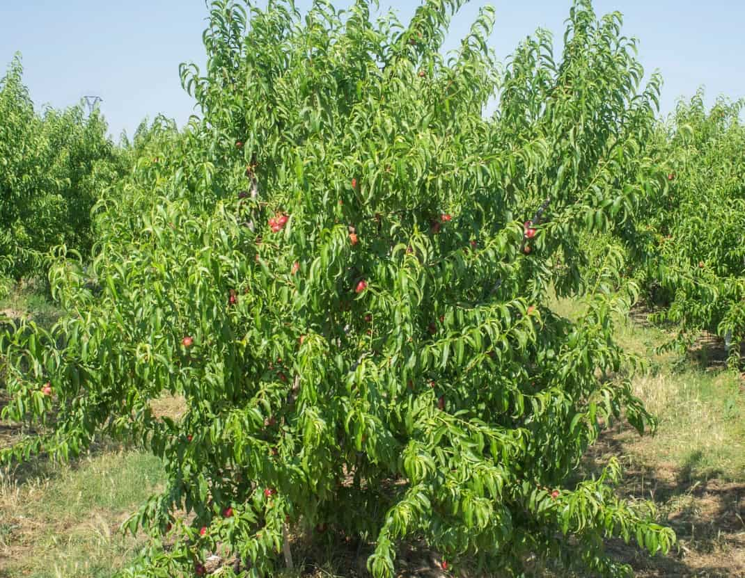 Nectarine trees are shrub-shaped.
