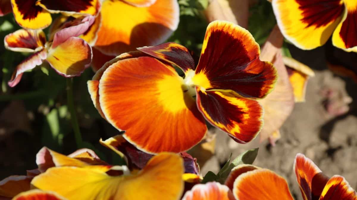 Pansies like cooler weather.