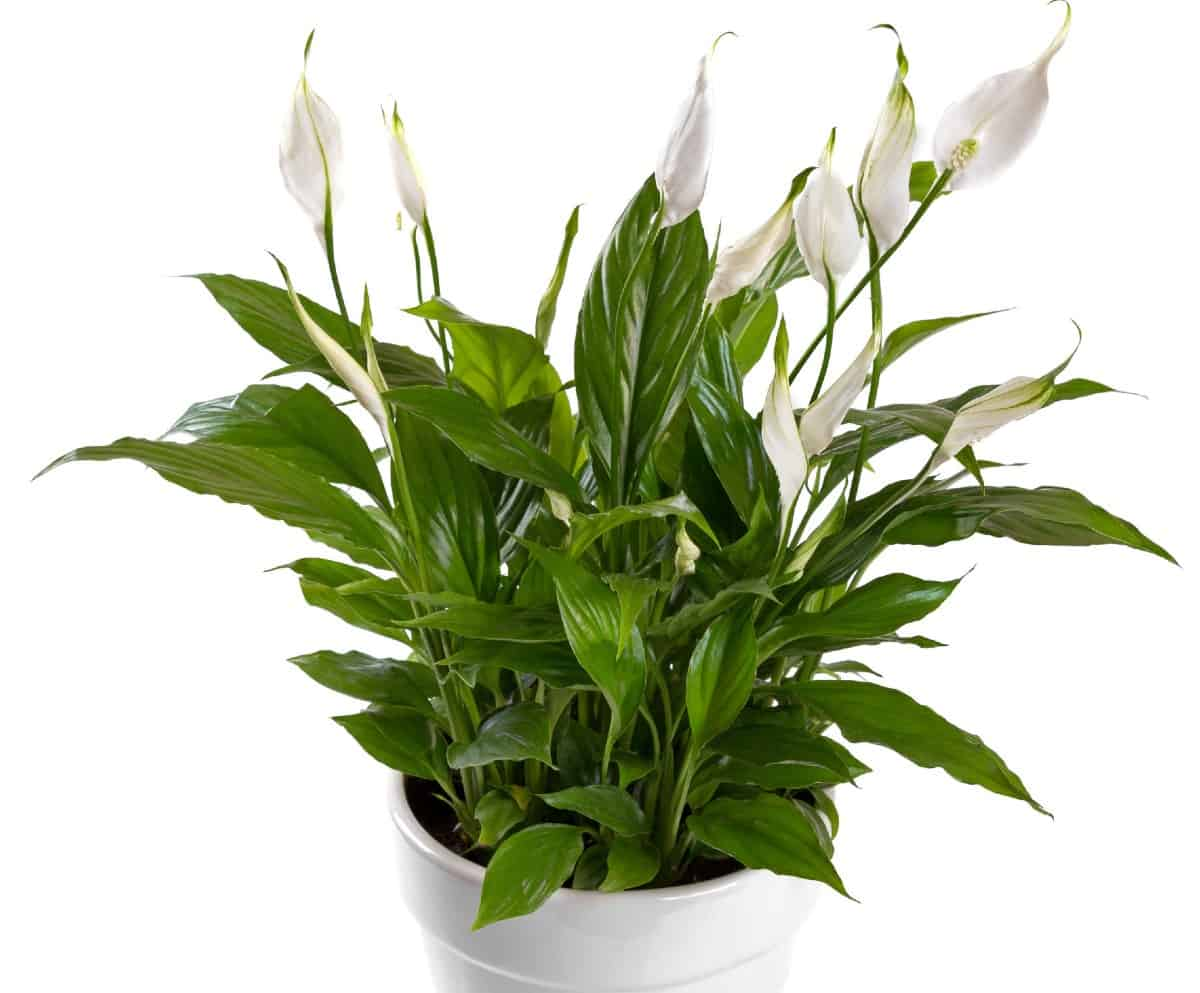 Peace lilies are excellent air purifiers.