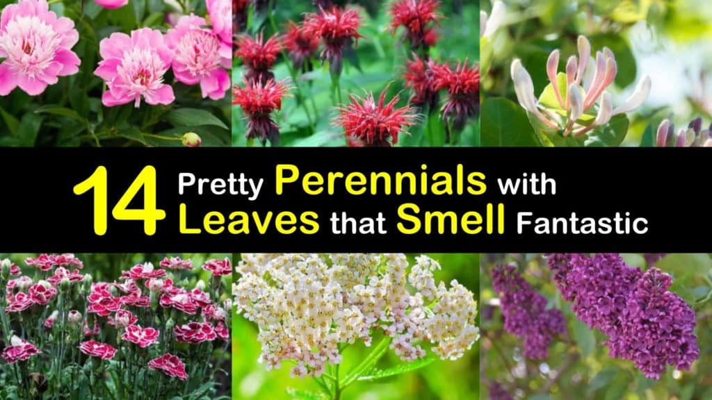 Perennials with Leaves that Smell titleimg1