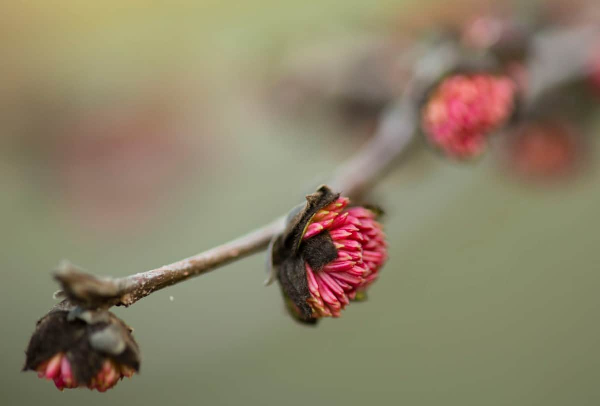 The Persian ironwood is disease and pest resistant.