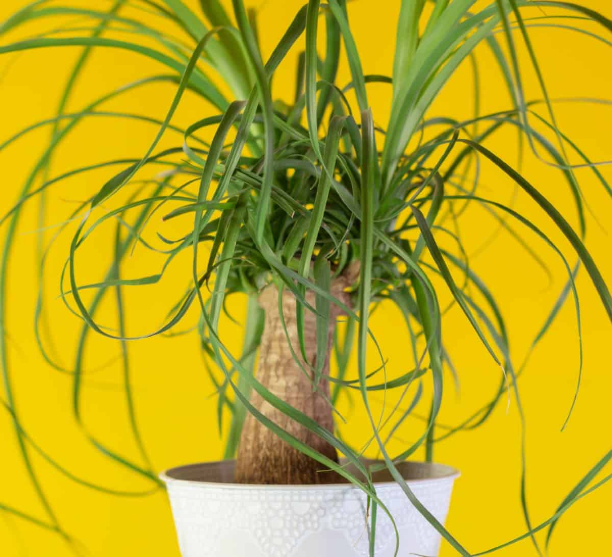 Ponytail palms are indoor trees that are not actually palm trees.
