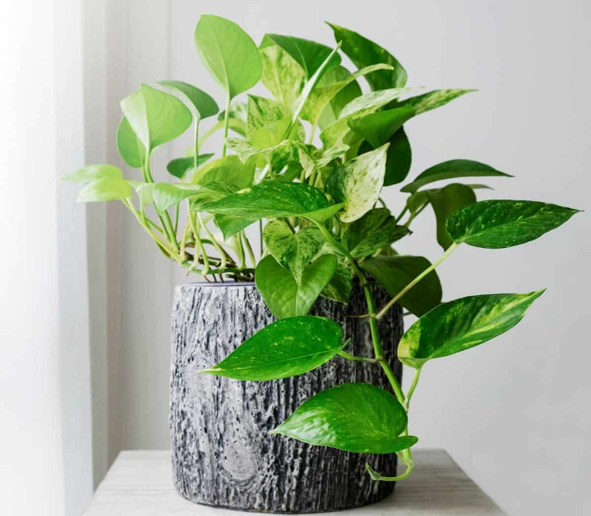 Pothos is a popular vining indoor plant.