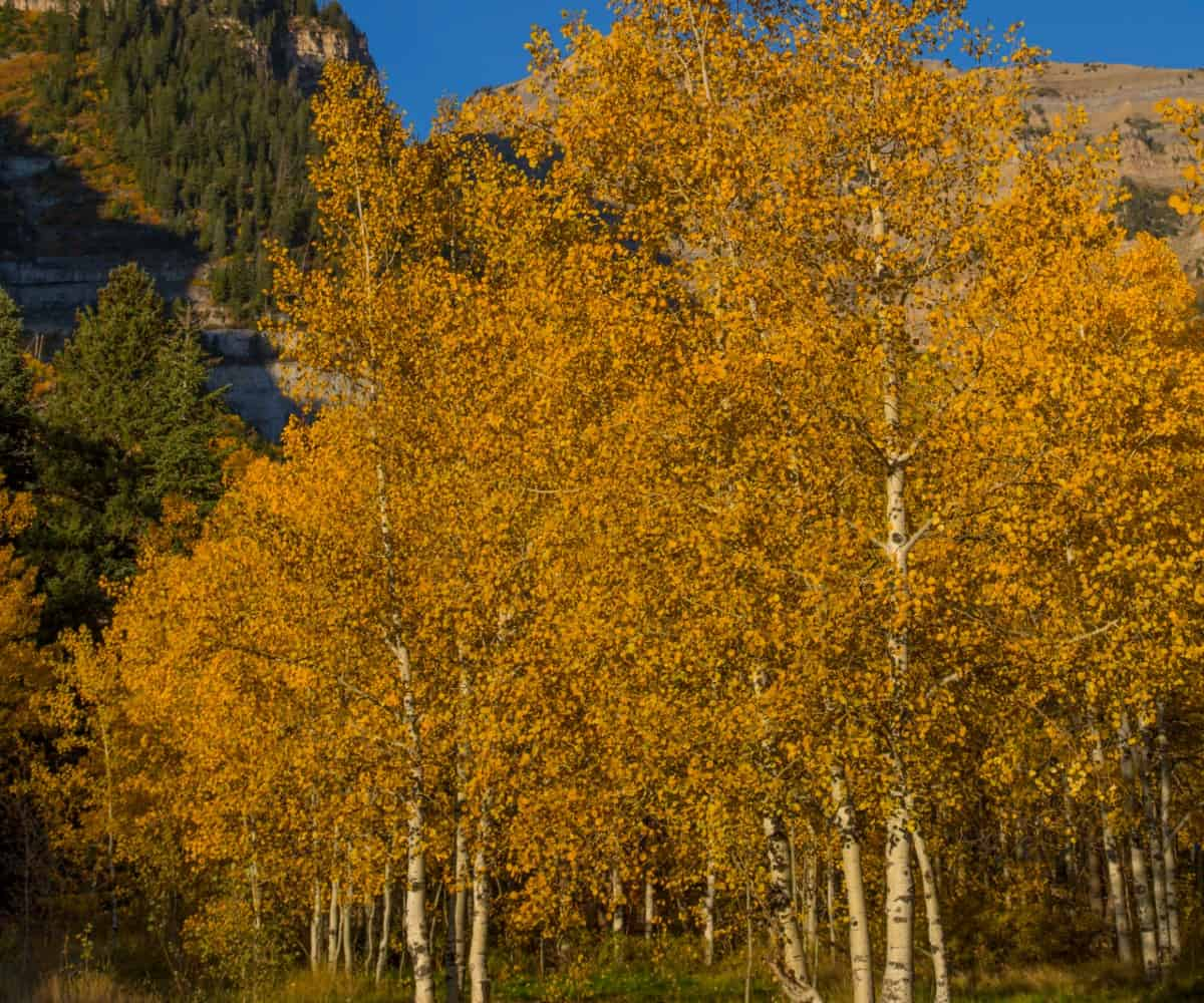 The white bark of quaking aspens stands out among its orange fall leaves.