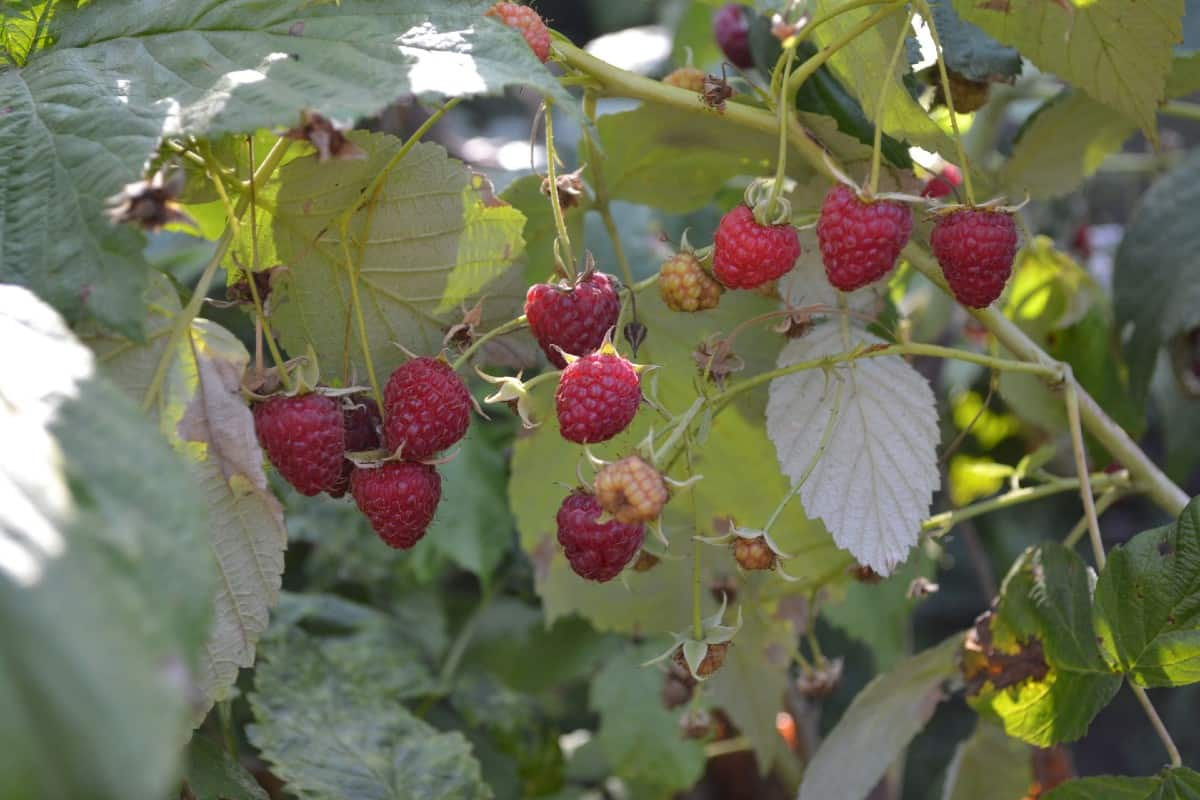 Raspberry bushes need full sun and wind protection.