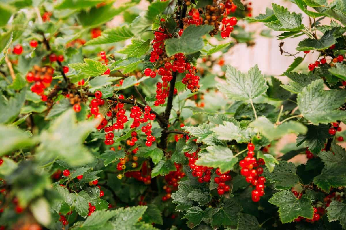 Red currants prefer cool conditions.