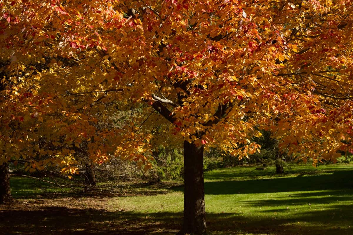 Red maple trees are fast growers and low maintenance.
