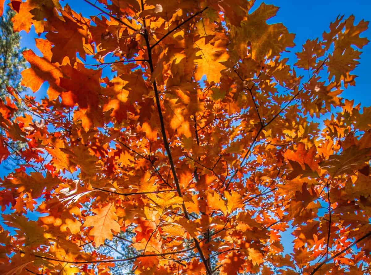 The red oak is a low maintenance shade tree.