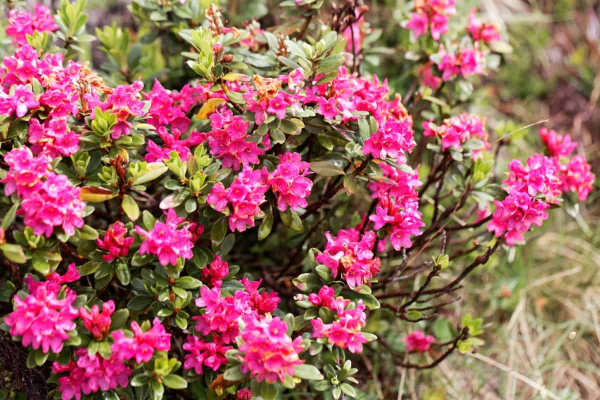 Rhododendrons are attractive deer-resistant flowers.