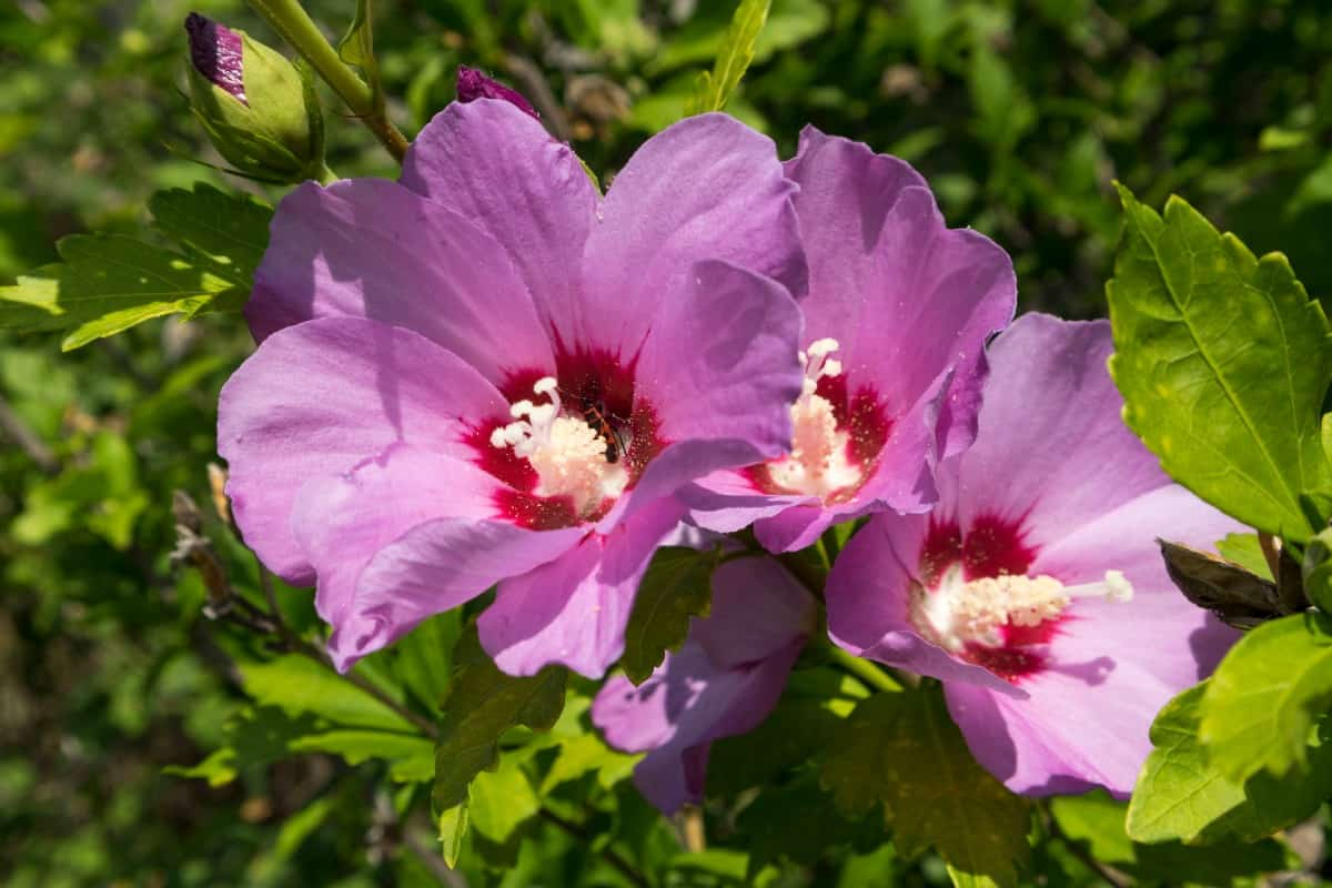Rose of Sharon is a type of hibiscus.