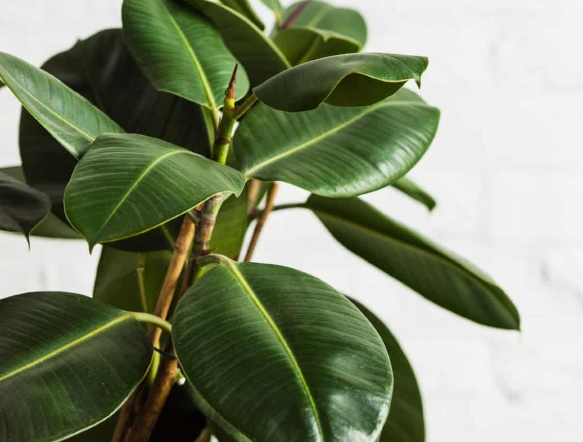 Rubber fig trees grow to about ten feet in a pot.