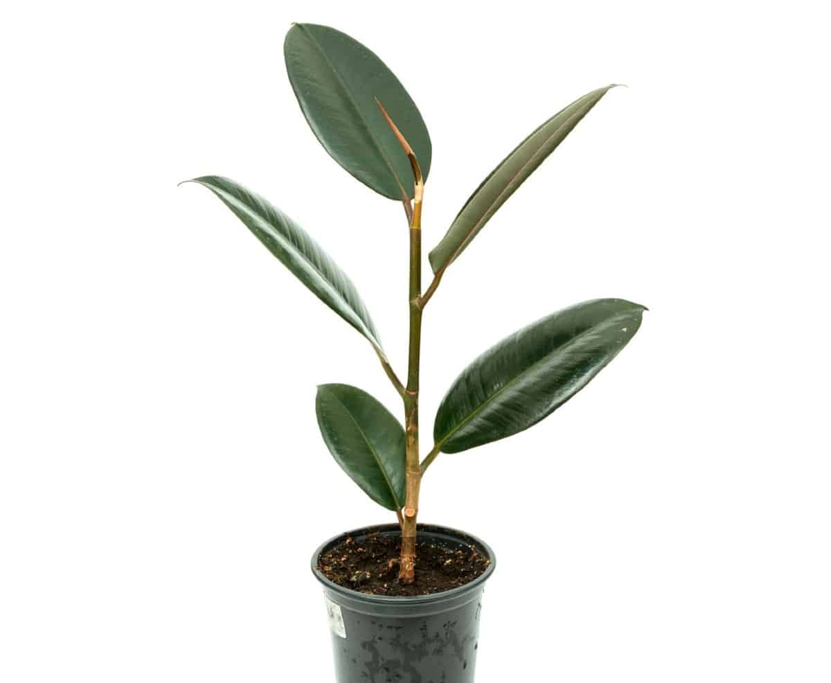 Rubber plants have large leathery leaves.