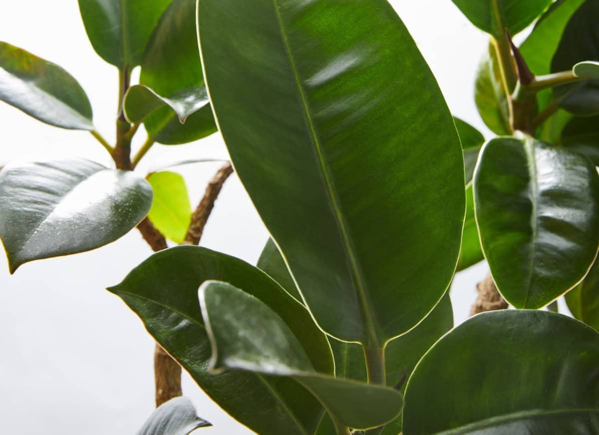 Rubber plants need bright but indirect light.