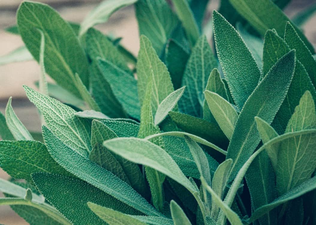 Pollinators like bees and butterflies love sage plants.