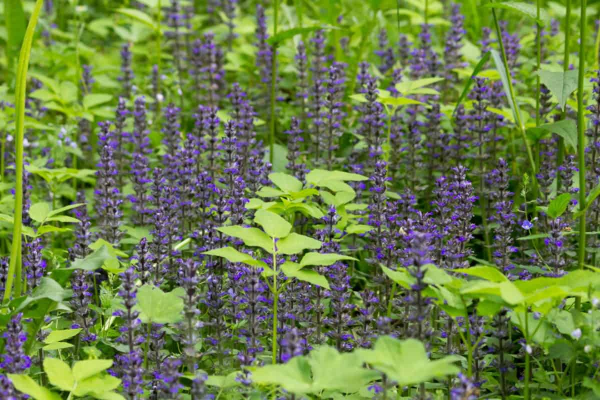 Salvia is easy to dry and add to everlasting arrangements.