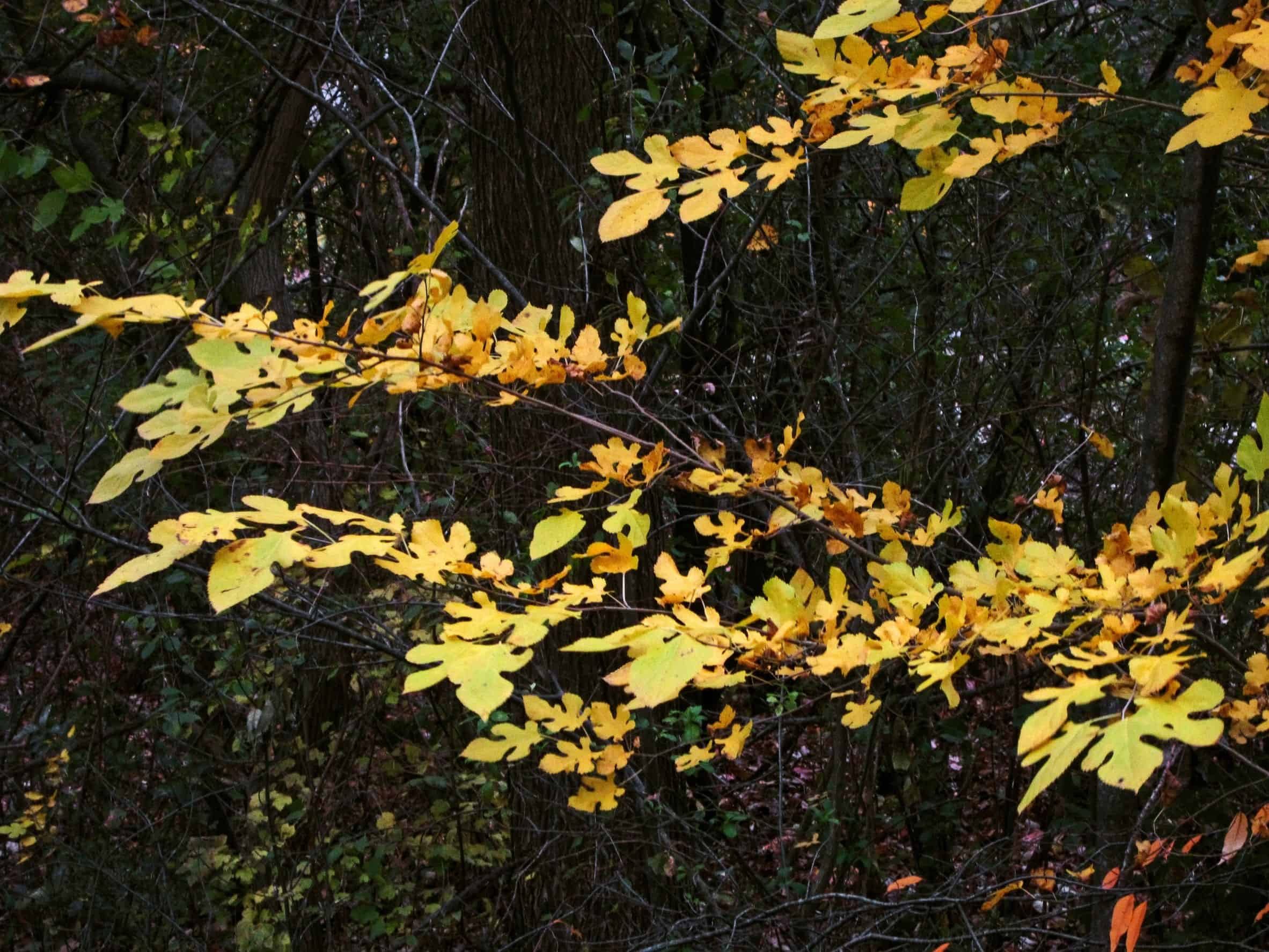 The fall leaves of the sassafras come in a variety of bright colors.