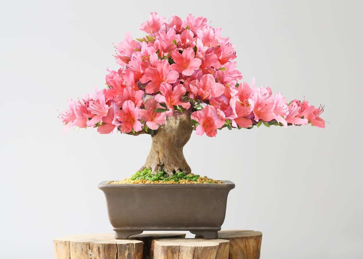 The Satsuki azalea bonsai has beautiful flowers.