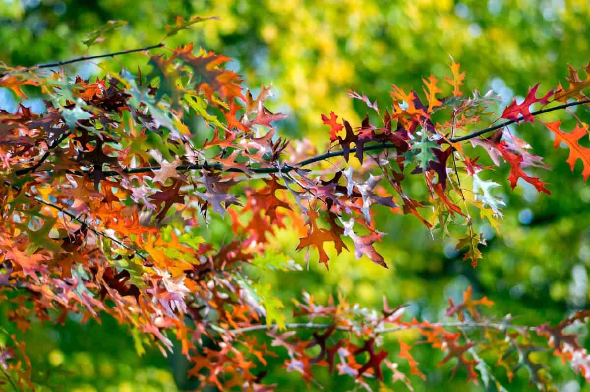 The scarlet oak is a popular landscape tree.