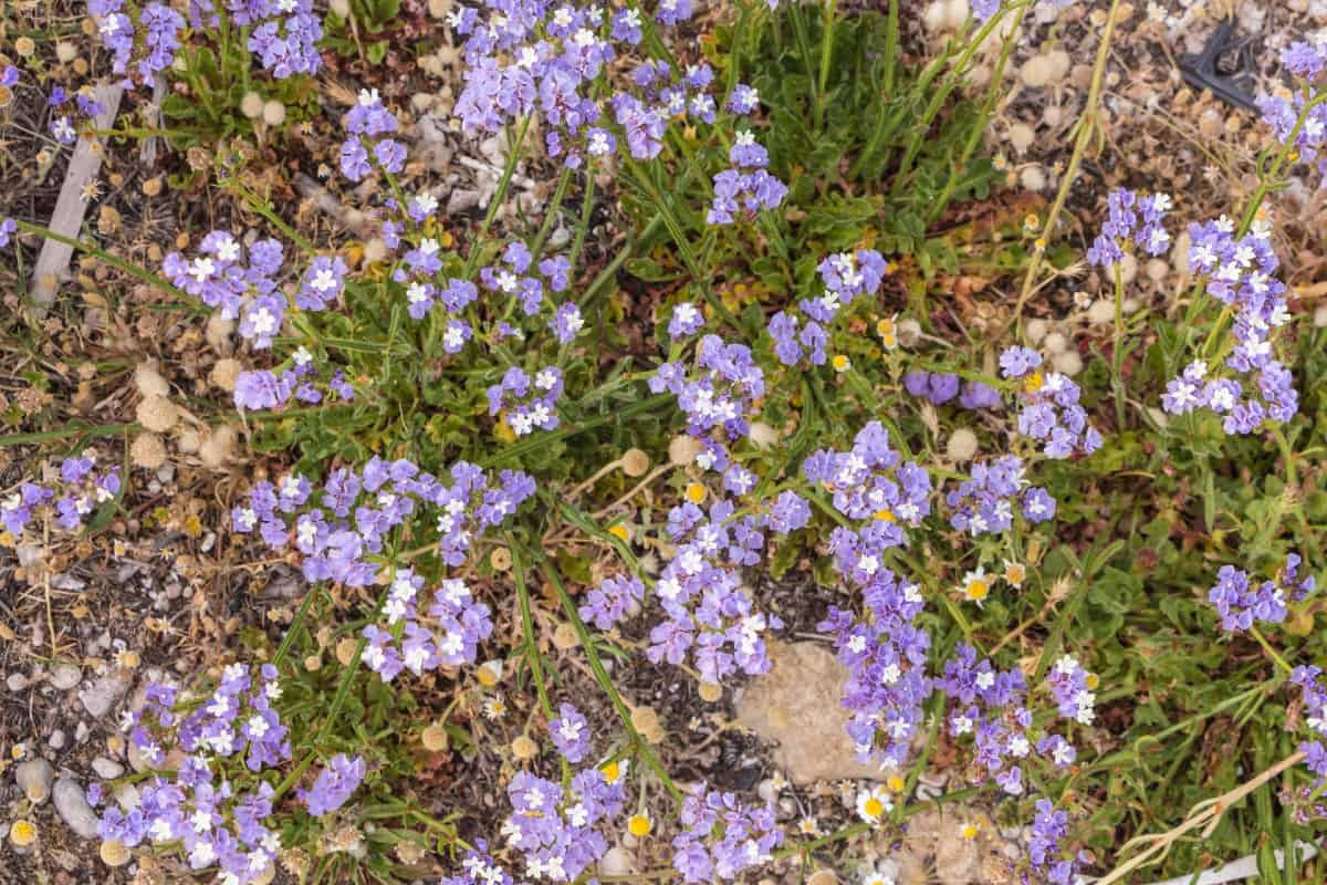 Sea lavender or statice is a low-growing annual.