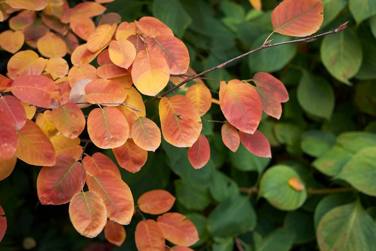 Serviceberry trees are small specimens with orange leaves in fall.