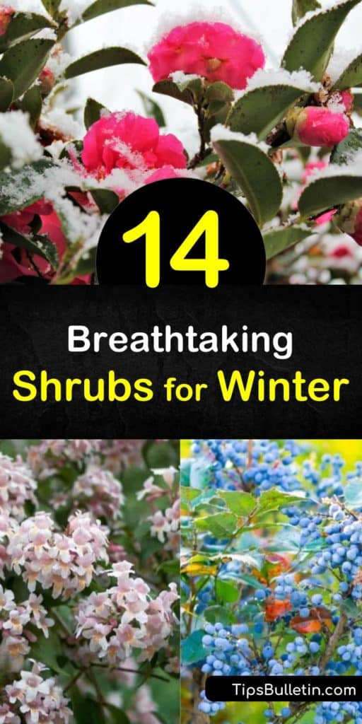 Learn which species make the best shrubs for winter and why. Discover how plants like mahonia and winterberry provide gorgeous appeal and food for birds in winter. Try dogwood and holly for vibrant branches or dark green leaves in an otherwise colorless season. #shrubs #winter #interest #seasonal