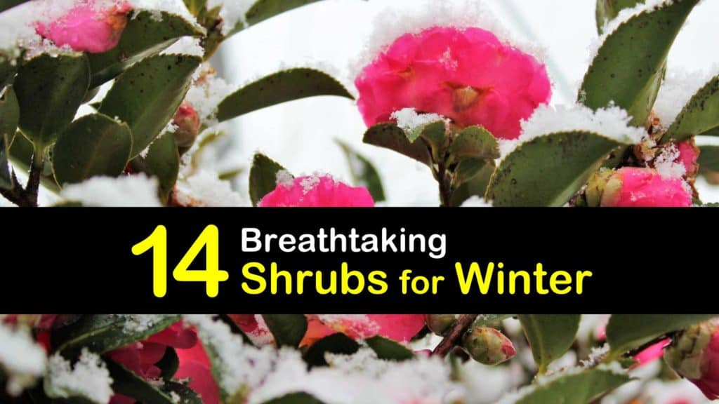 Shrubs for Winter titleimg1