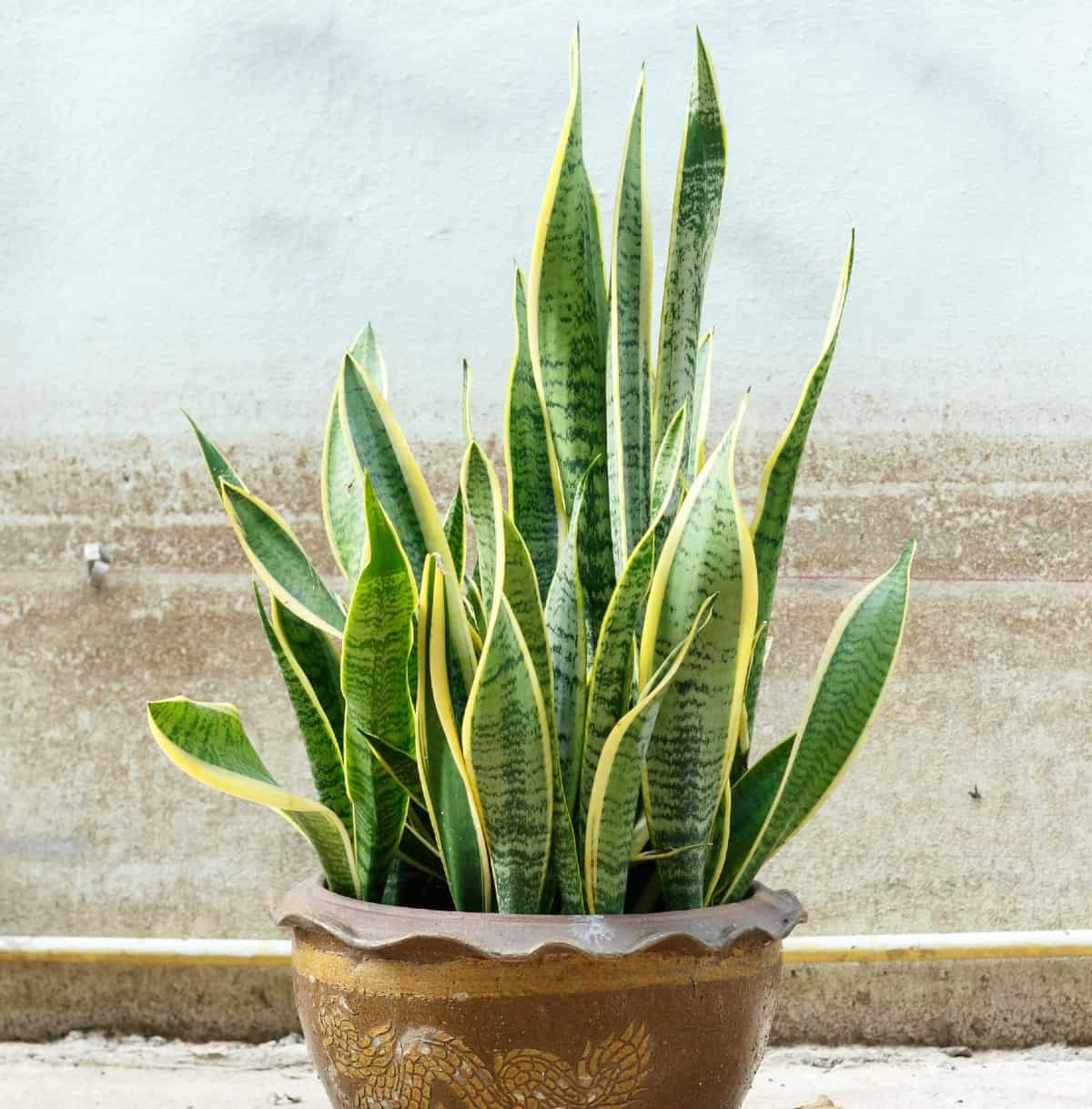 The stiff green leaves of the snake plant grow upward.