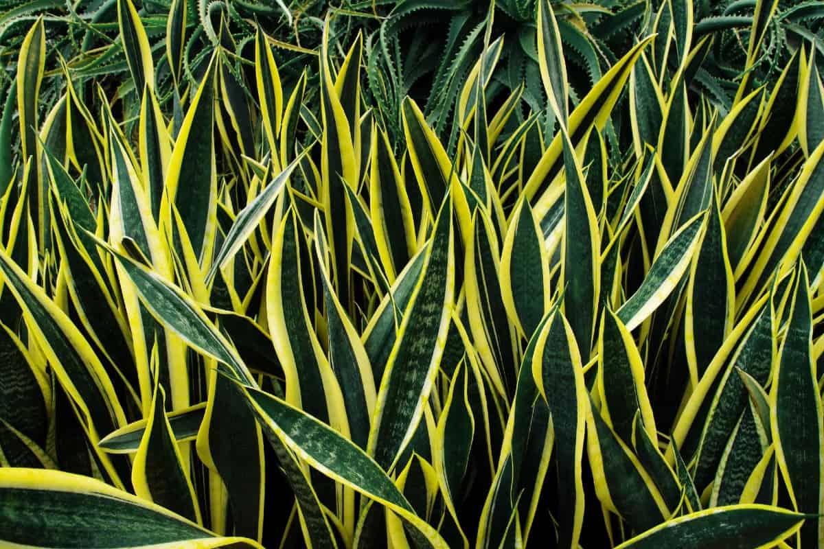 Snake plants are also called mother-in-law's tongue.